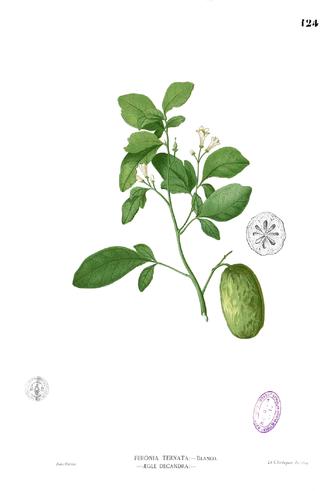 Aurantioideae - Tabog (Swinglea glutinosa, Citreae)