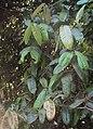 Syzygium mundagam 11.JPG