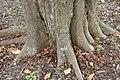Syzygium samarangense 15zz.jpg