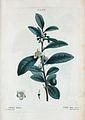 T2 06 Camellia sinensis par Pierre-Joseph Redouté.jpeg