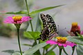 Tailed green jay - Graphium agamemnon - Indonesia.jpg