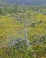 Tamarack (Larix laricina) - Humber Arm South, Newfoundland 2019-08-18.jpg