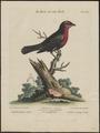 Tanagra jacapa - 1700-1880 - Print - Iconographia Zoologica - Special Collections University of Amsterdam - UBA01 IZ15900219.tif