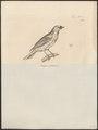 Tangara thoracica - 1700-1880 - Print - Iconographia Zoologica - Special Collections University of Amsterdam - UBA01 IZ15900305.tif