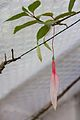 Tatton Park 2015 47 - Fuchsia.jpg