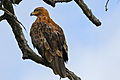 Tawny Eagle (Aquila rapax) (17259303709).jpg