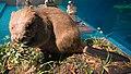 Taxidermied beaver 2.jpg