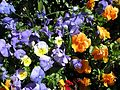 Teignmouth Blooms Again - 2 - Flickr - Sir Hectimere.jpg