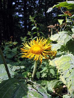 Herbatika-lekovito bilje  250px-Telekia_speciosa_volujsko_oko