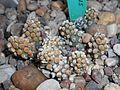 Tephrocactus molinensis 2017-05-05 9423.jpg