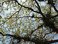 Terminalia bellirica (3394640772).jpg