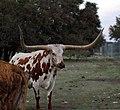 Texas Longhorn Steer (421749161).jpg