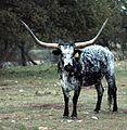 Texas Longhorn Steer Rocksprings.jpg