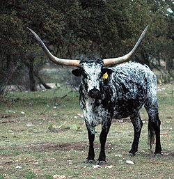 Do female longhorns have horns