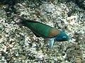 Thalassoma duperreyi by NPS.jpg
