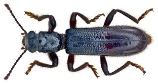 <i>Thanasimodes</i> Genus of beetles