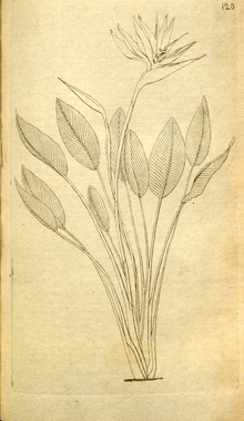 The Botanical Magazine, Plate 120 (Volume 4, 1791).png