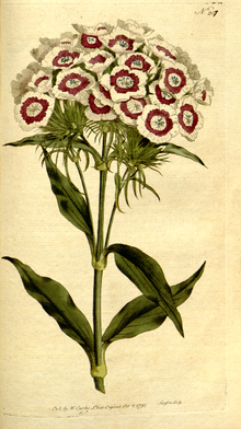 The Botanical Magazine, Plate 207 (Volume 6, 1793).png