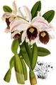 The Orchid Album-01-0032-0009-Laelia purpurata williamsii-crop.png