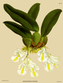 The Orchid Album-01-0056-0018-Burlingtonia candida.png