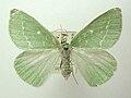 Thetidia.smaragdaria.jpg