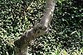 Thevetia peruviana 12zz.jpg