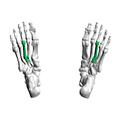 Third metatarsal bone04 inferior view.png