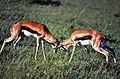 Thomson's Gazelles (Eudorcas thomsonii) fighting (8292103414).jpg