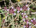 Thymus serpyllum in Aveyron (4).jpg
