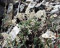 Thymus vulgaris9.JPG