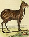 "Tibetan Musk Deer (sp. Moschus), ""Thibet Musk"" or Tibet Musk, from- The Naturalist's Pocket Magazine or compleat cabinet of the curiosities and beauties of nature (20125082706) (cropped).jpg"