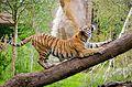 Tiger (27098285635).jpg