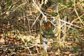 Tiger coming out of the bushes - Kanha National Park.jpg