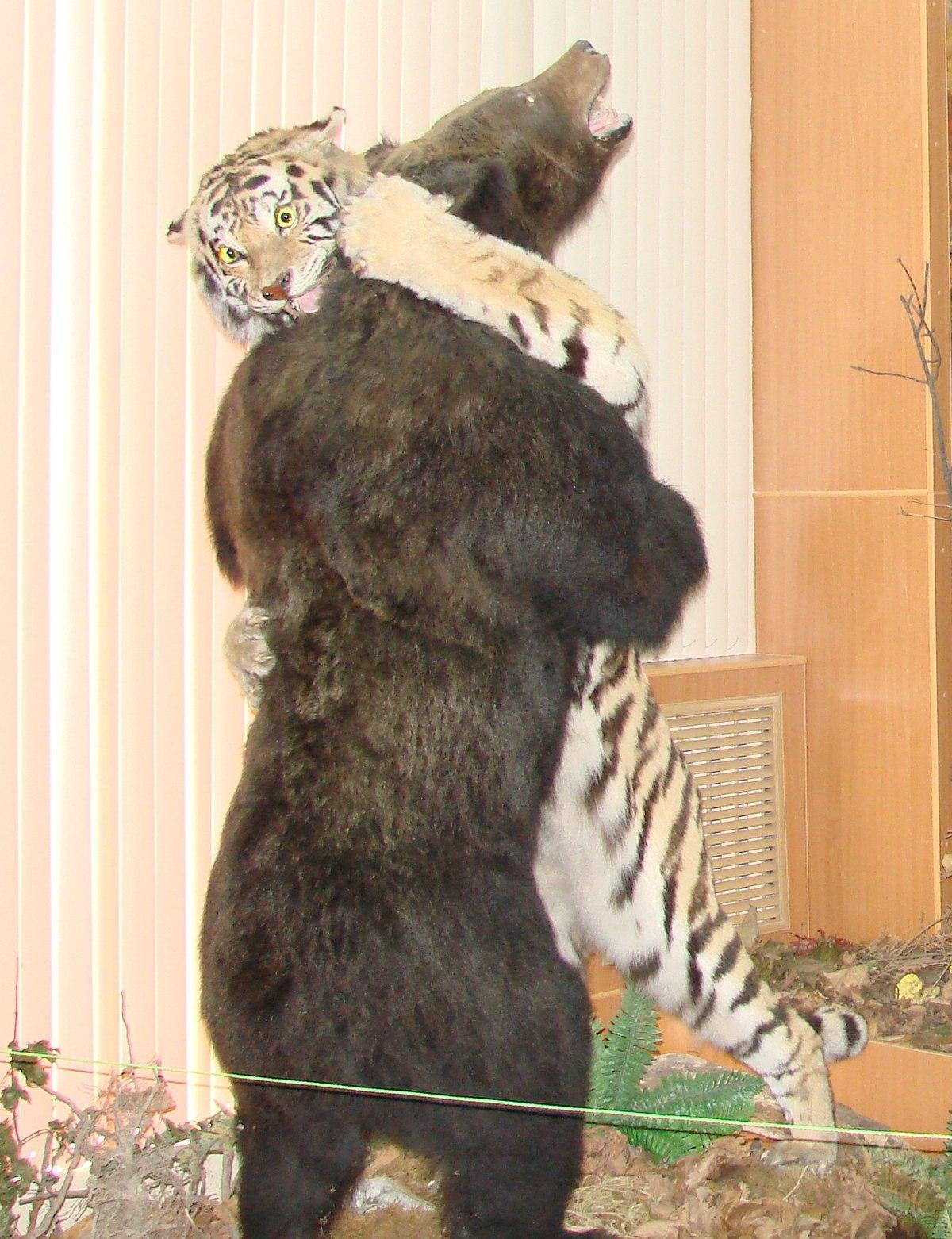Bear Vs Tiger Who Wins