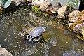 Tolerant Turtle (14011464274).jpg