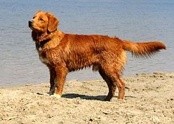 Nova Scotia Duck Tolling Retriever Breeds of Gundog