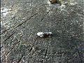 Trachypepla euryleucota (2928247913).jpg
