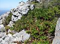 Trappieskop Clovelly Cape Town - Aloe commixta 2.jpg
