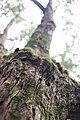 Tree Mount Wellington Wiki Loves Earth.jpg