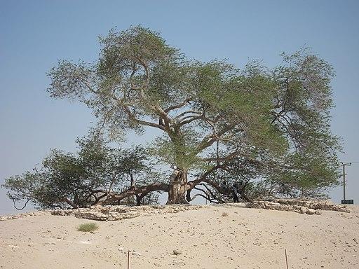 Tree of Life, Bahrain - ജീവന്റെ മരം, ബഹ്റൈൻ 02