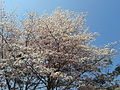 Tree with only flowers in Chennai 02.jpg