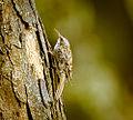 Treecreeper (20293202421).jpg