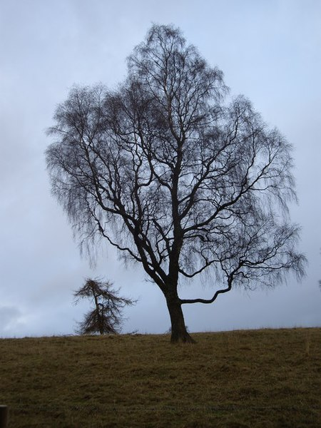 File:Trees in silhouette - geograph.org.uk - 1041566.jpg