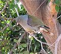 Treron calvus glaucus, in vyeboom, c, Pretoria.jpg
