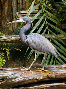 Tri-color Heron.JPG