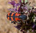 Trichodes leucopsideus. Soldier Beetle. Cleridae. - Flickr - gailhampshire.jpg