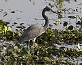 Tricolored Heron (Egretta tricolor) - Flickr - Lip Kee (8).jpg