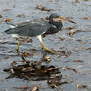 Tricolored heron - Image: Tricolored Heron Wading