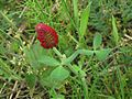 Trifolium incarnatum (Crimson clover), Arnhem, the Netherlands - 2.jpg