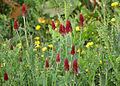 Trifolium incarnatum Citadelle Vauban de Lille 2013 03.JPG
